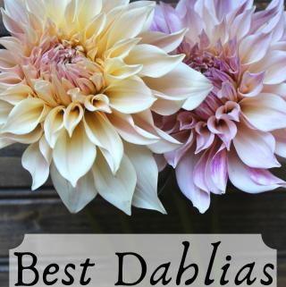 Best Dahlias for Cut Flower Gardens Dahlia Flower Review The Best Dahlias for Bouquets and Weddings My Farmhouse Table