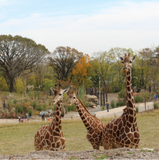 Omaha's Henry Doorly Zoo Tips and Tricks to Plan Your Visit Omaha Nebraska Travel Guide What to Do in Omaha Nebraska Travel Nebraska Things to do in Omaha Visit the Omaha Henry Doorly Zoo Giraffe