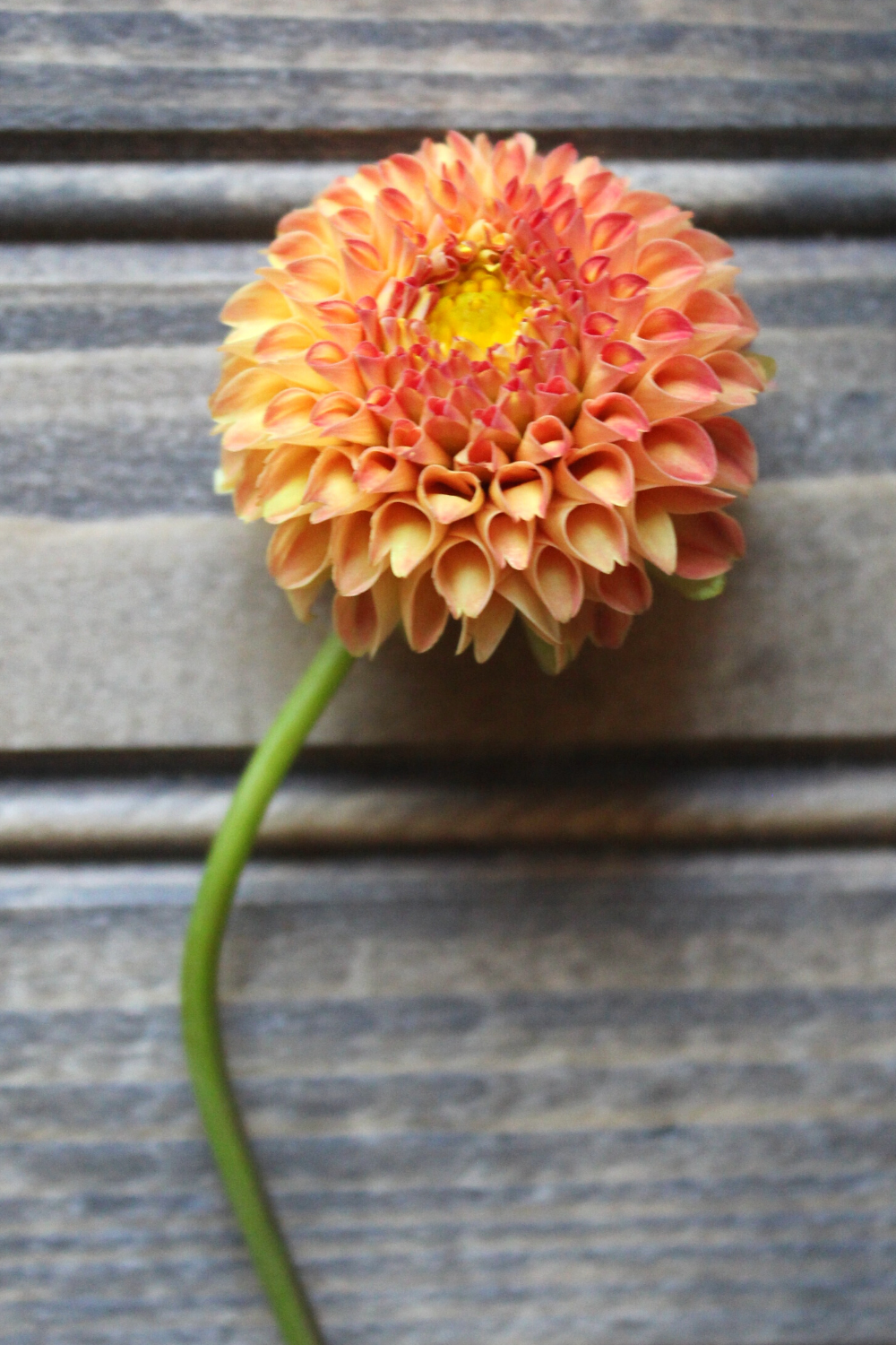 Ginger Willo Best Dahlias for Cut Flower Gardens Dahlia Flower Review The Best Dahlias for Bouquets and Weddings My Farmhouse Table