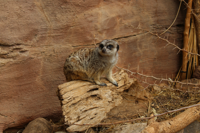 Omaha's Henry Doorly Zoo Tips and Tricks to Plan Your Visit Omaha Nebraska Travel Guide What to Do in Omaha Nebraska Travel Nebraska Things to do in Omaha Visit the Omaha Henry Doorly Zoo Meerkat