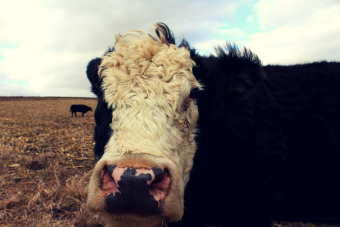 Cows on Corn Stalks My Farmhouse Table Cattle Grazing Corn Stalk Pictures Cow Pictures Fluffy Cows