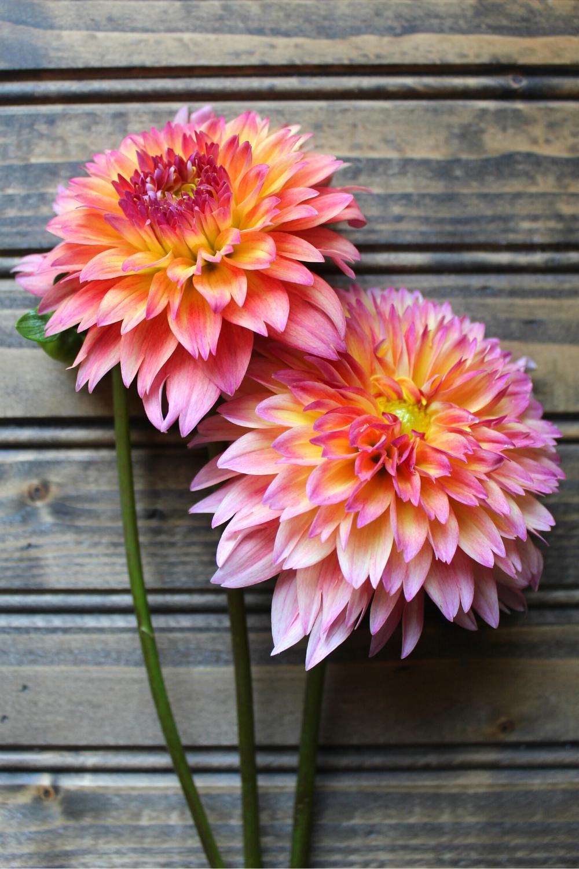 September Morn Best Dahlias for Cut Flower Gardens Dahlia Flower Review The Best Dahlias for Bouquets and Weddings My Farmhouse Table