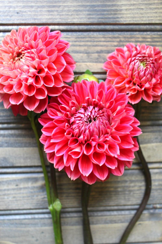 Tempest Best Dahlias for Cut Flower Gardens Dahlia Flower Review The Best Dahlias for Bouquets and Weddings My Farmhouse Table